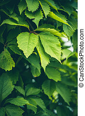 Background texture of juicy green leaves