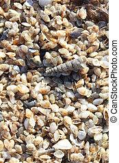tiny telline shells on the Sea Beach