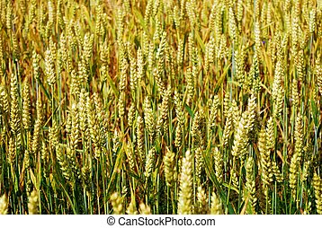Background wheats in the field