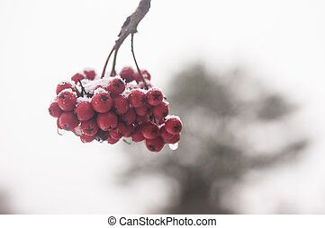 Background with a mountain ash cluster in snow