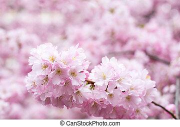 background with Beautiful pink cherry blossom, Sakura flowers