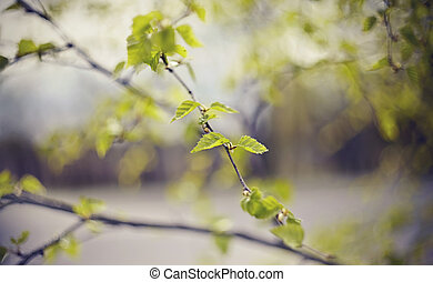 Background with birch branches in the spring.