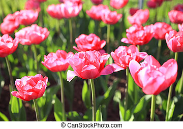 Background with bright pink tulips