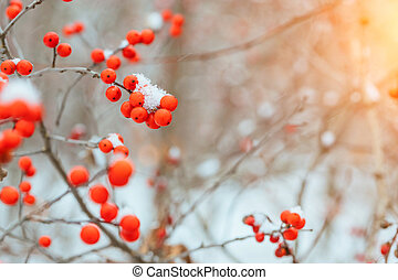 Background with bright red berries of mountain ash under the snow.