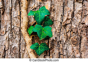 Background with closeup ivy on a tree trunk