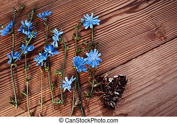 Background with flowers of chicory and root on the old wooden boards. Place for text. Top view. Medicinal plant: Chicory. Fresh root of common chicory Cichorium intybus . Chicory root Cichorii intybi radix is used for the relief of symptoms of mild digestive disorders and temporary loss of appetite.