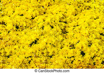 background with fresh grass and yellow chrysanthemums