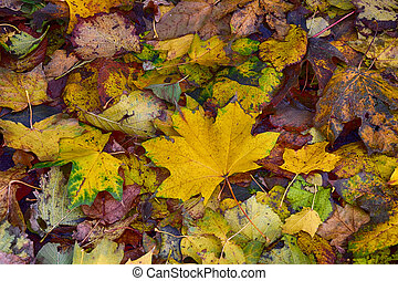 background with gold green fallen autumn maple leaves