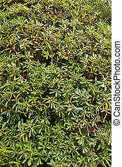 Background with green leaves of a bush