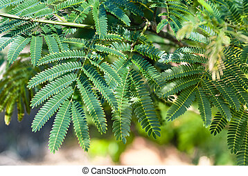 Background with green legume tree branch and leaves in the sun