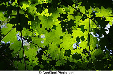 background with green maple leaves