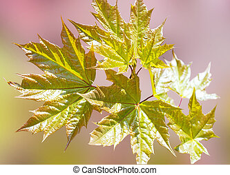 Background with maple leaves