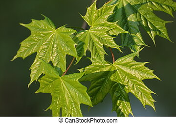Background with maple leaves with reflection of sunlight