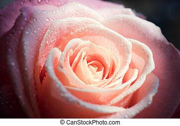 pink rose (close-up)