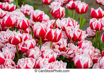 background with red white tulips