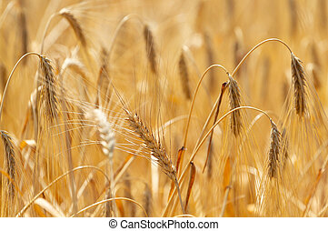 Background with ripe wheat - Beautiful yellow background ...