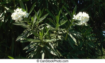 Background with white oleander