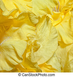 Background with yellow gladioluses