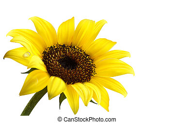 Background with yellow sunflower. Vector