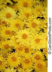 Background yellow daisy many flowers