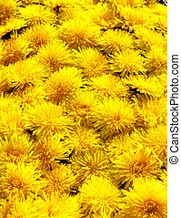 dandelion flower close up