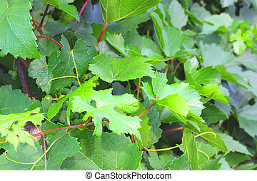Backgrounds with leaves of vine. Shallow DOF.