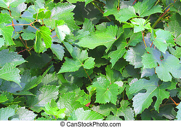 Backgrounds with leaves of vine.