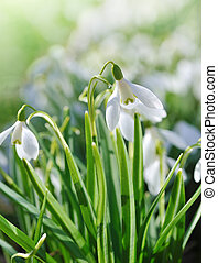 snowdrops   - backlighting with spring sun snowdrops
