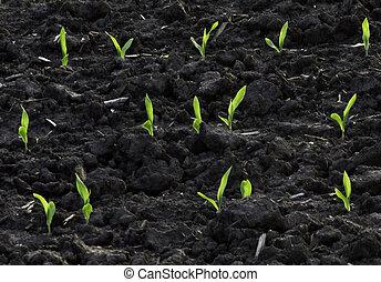 backlit, 春天, 玉米, 秧苗, 在, 富有, soil.
