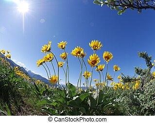 Backlit arnica wild flowers.