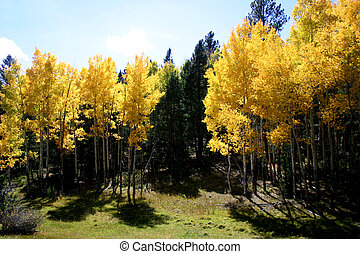 Backlit Aspens