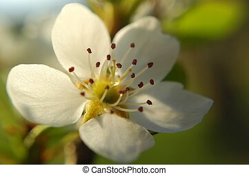 Backlit blossom - A pear blossom backlit by sunlight.