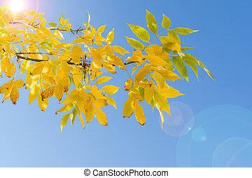 Backlit branch of autumn tree with yellow leaves