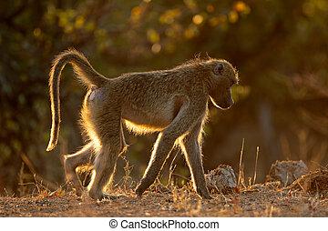 Backlit chacma baboon