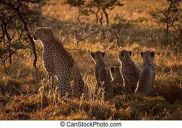 Backlit cheetah sits with family at sunset