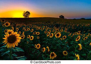backlit, coucher soleil, tournesols