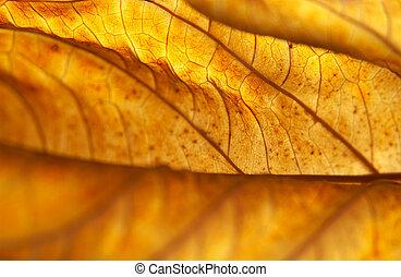 Backlit Dead Hydrangea Leaf - Hydrangea macrophylla leaf...