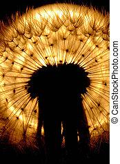 Backlit deandelion seed head