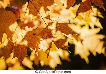 Backlit fall maple leaves