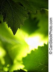 Backlit grape leaves background. Shallow DOF.
