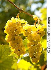 Backlit grapevine - Backlit closeup of grapes hanging on a...
