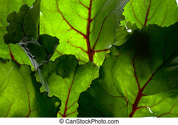 Backlit Green Background Of Beet Leaves