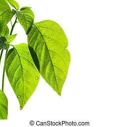 backlit, hojas verdes, con, gotas del agua, blanco, plano de fondo, aislado