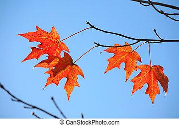 Backlit Maple Tree Leaves