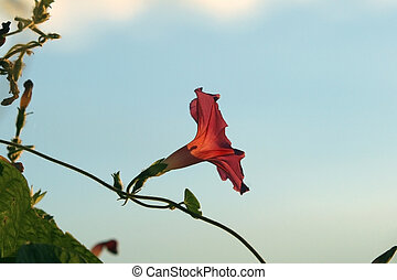 Backlit Morning Glory