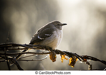 A Northern Mockingbird perched on a twist of vines and branches being backlit by the sun on a winter day.