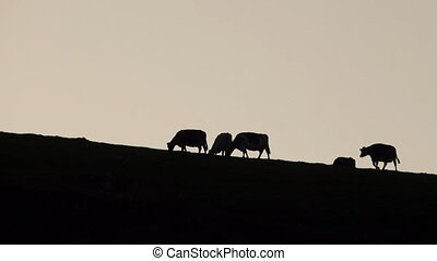 Backlit of cows grazing at top of mountain - Dark mountain...