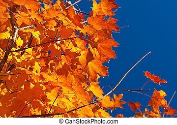 Backlit Orange, Red, Yellow Maple Leaves on Tree Fall Autumn...