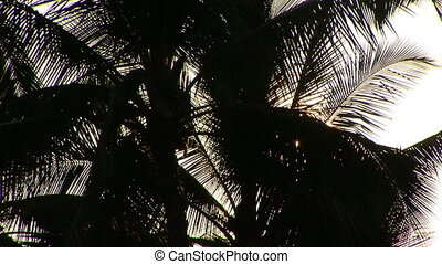 Backlit Palm Tree - Looking up at a backlit palm tree with...