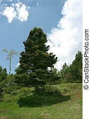 Backlit Pine